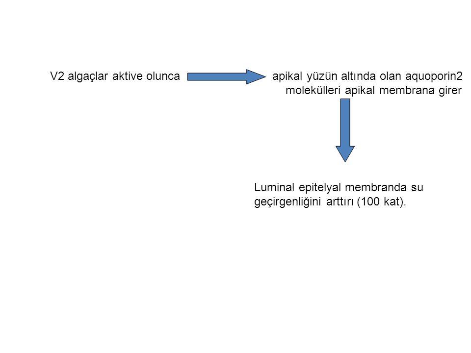 V2 algaçlar aktive olunca apikal yüzün altında olan aquoporin2