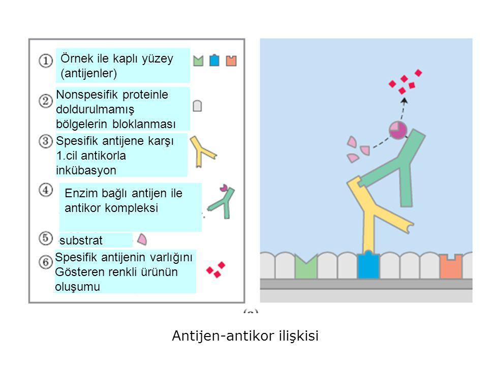 Antijen-antikor ilişkisi