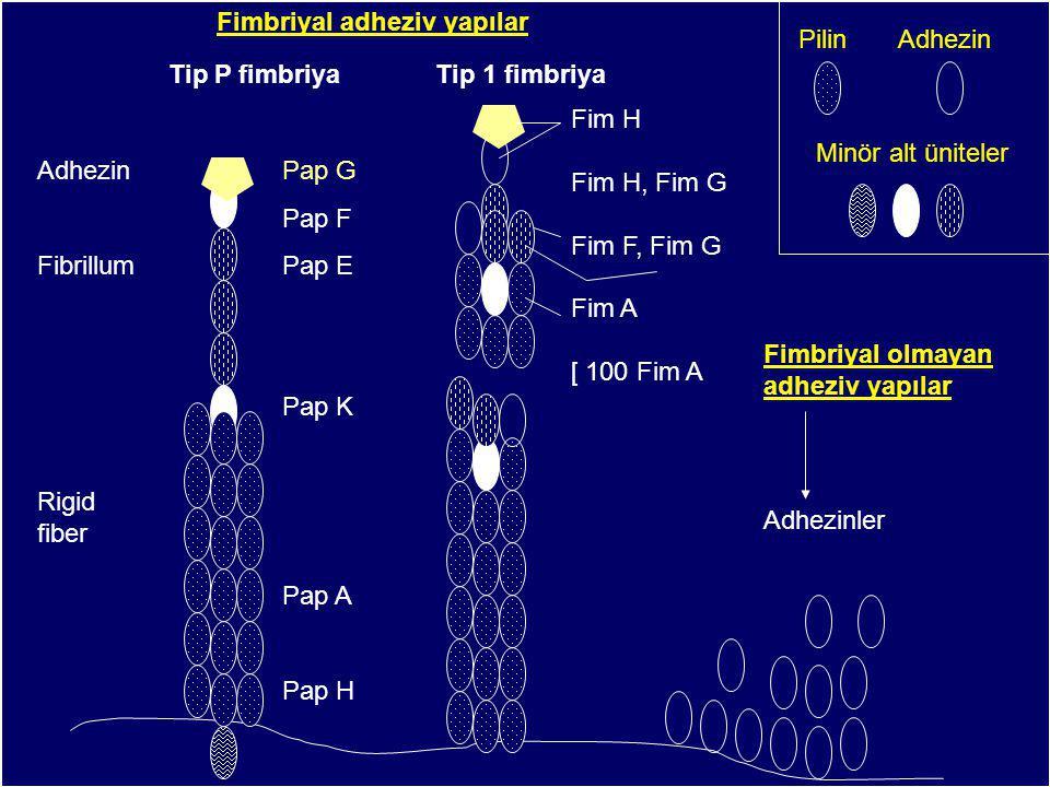 Fimbriyal adheziv yapılar