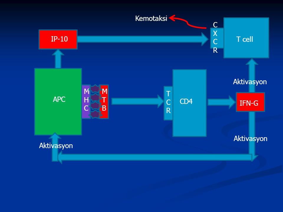 Kemotaksi C X R IP-10 T cell Aktivasyon MHC MTB TCR APC CD4 IFN-G Aktivasyon Aktivasyon
