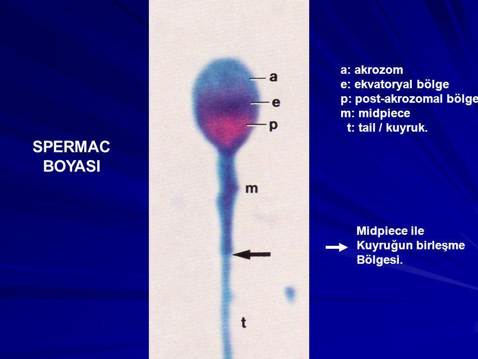 SPERMAC BOYASI a: akrozom e: ekvatoryal bölge p: post-akrozomal bölge