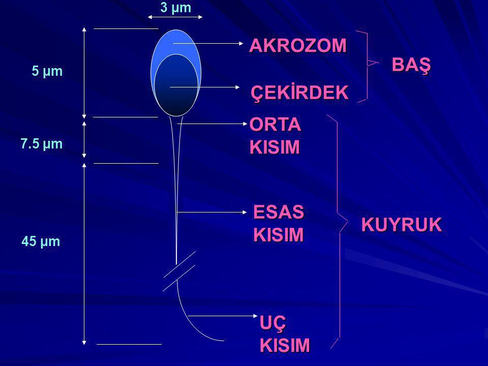 AKROZOM BAŞ ÇEKİRDEK ORTA KISIM ESAS KISIM KUYRUK UÇ KISIM 3 µm 5 µm