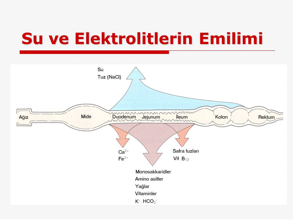 Su ve Elektrolitlerin Emilimi