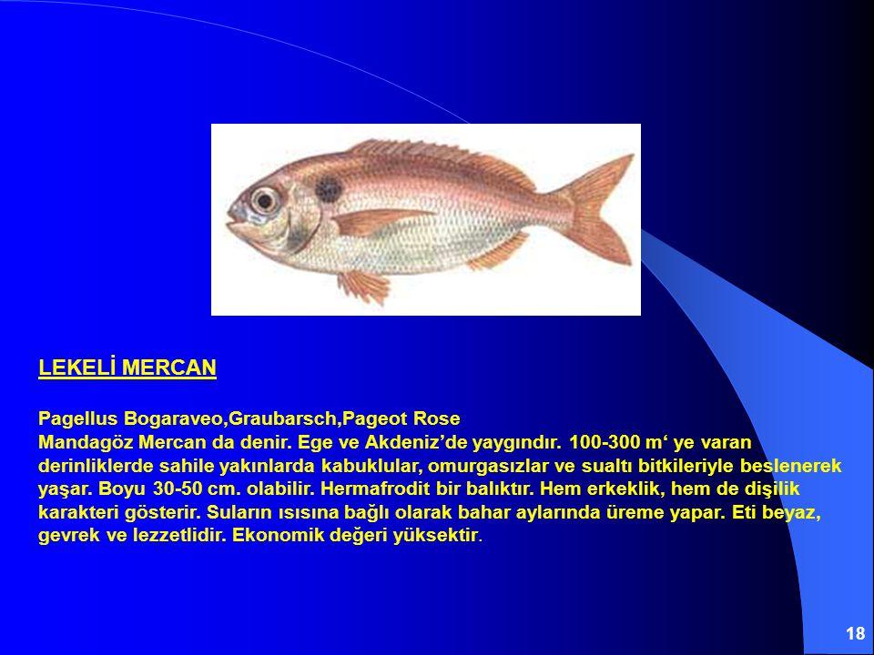 LEKELİ MERCAN Pagellus Bogaraveo,Graubarsch,Pageot Rose
