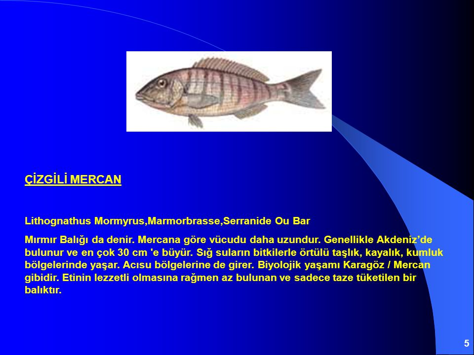 ÇİZGİLİ MERCAN Lithognathus Mormyrus,Marmorbrasse,Serranide Ou Bar