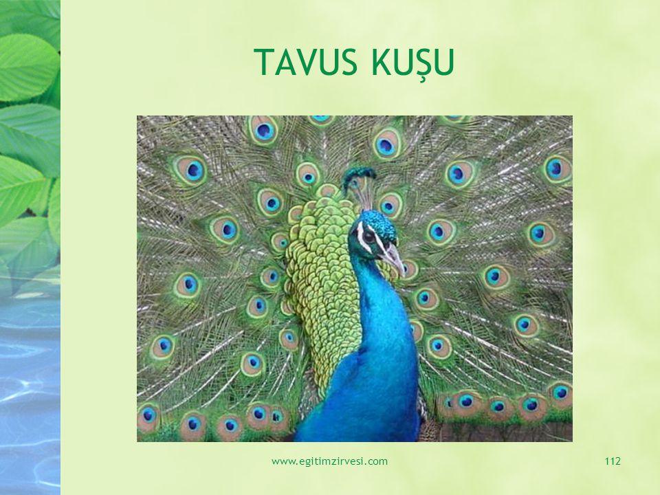 TAVUS KUŞU www.egitimzirvesi.com