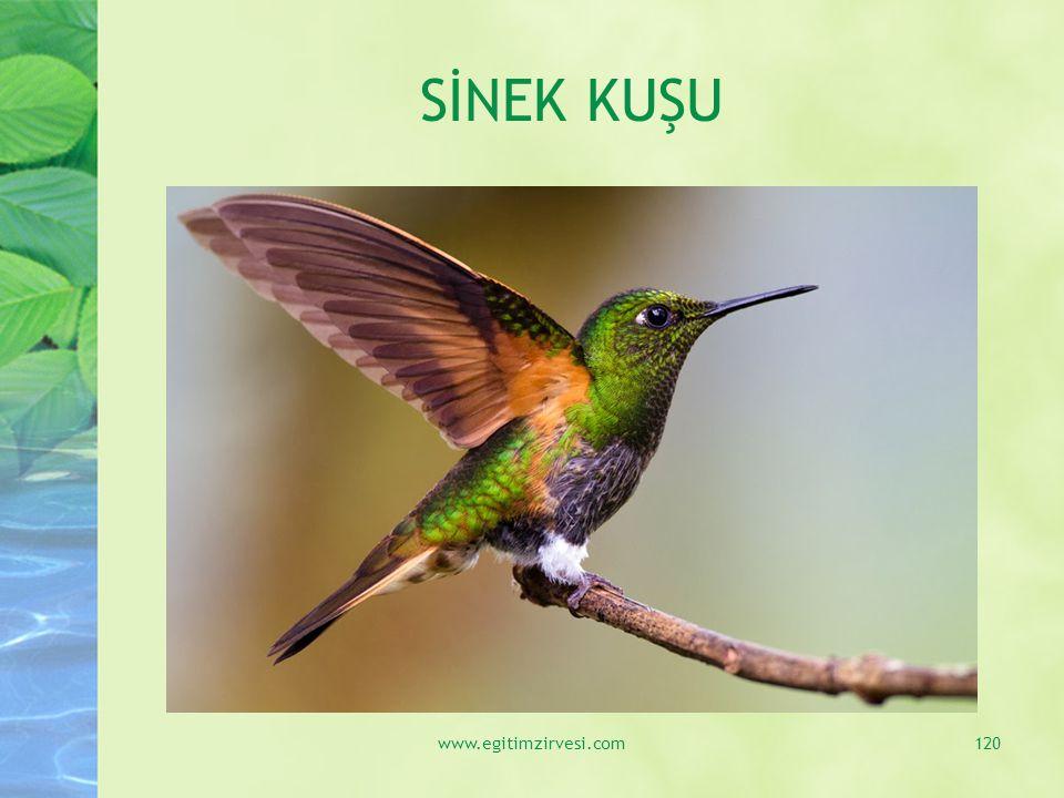 SİNEK KUŞU www.egitimzirvesi.com