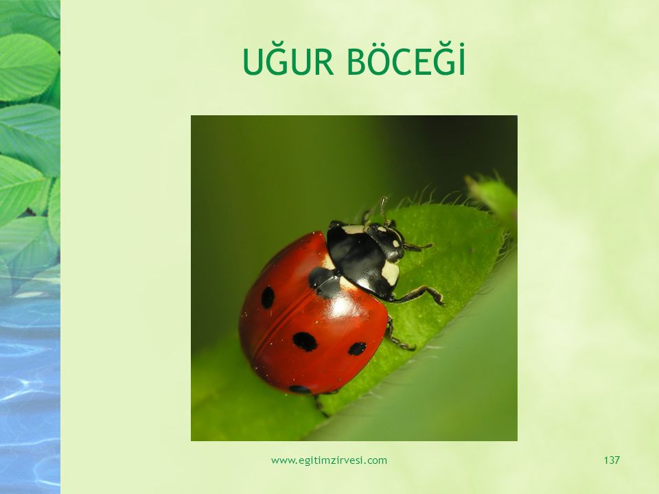 UĞUR BÖCEĞİ www.egitimzirvesi.com