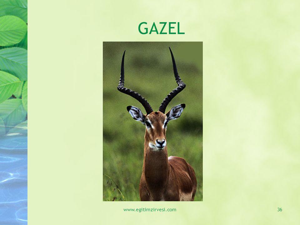 GAZEL www.egitimzirvesi.com