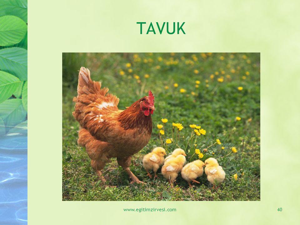 TAVUK www.egitimzirvesi.com