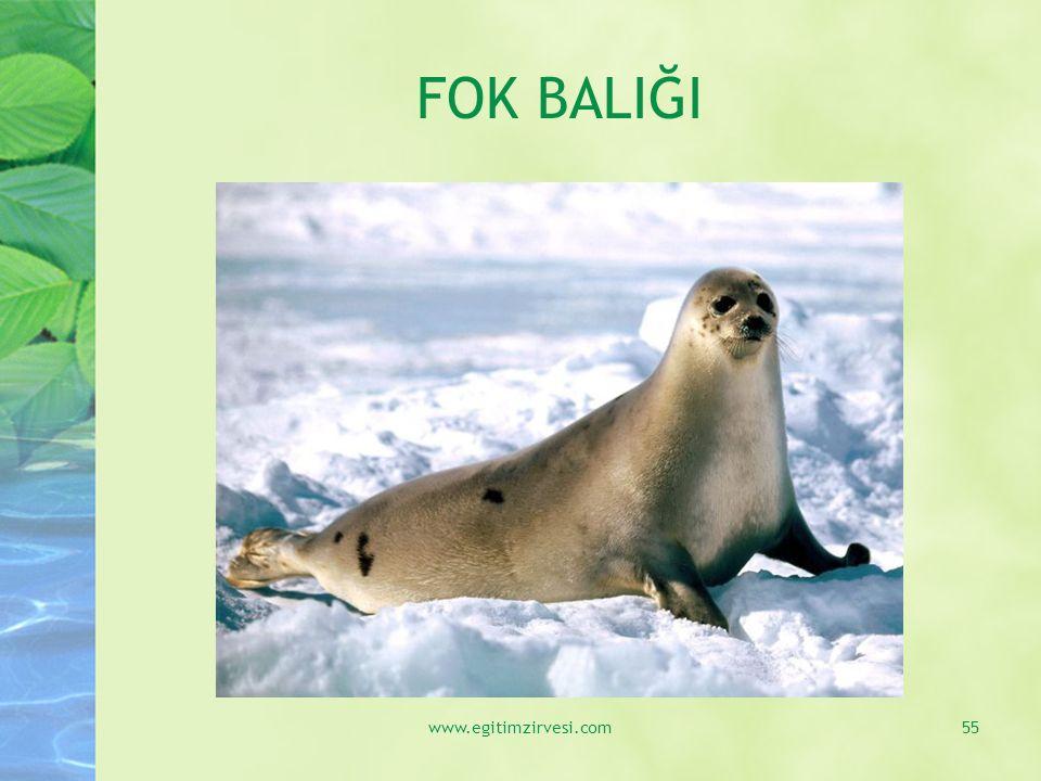FOK BALIĞI www.egitimzirvesi.com