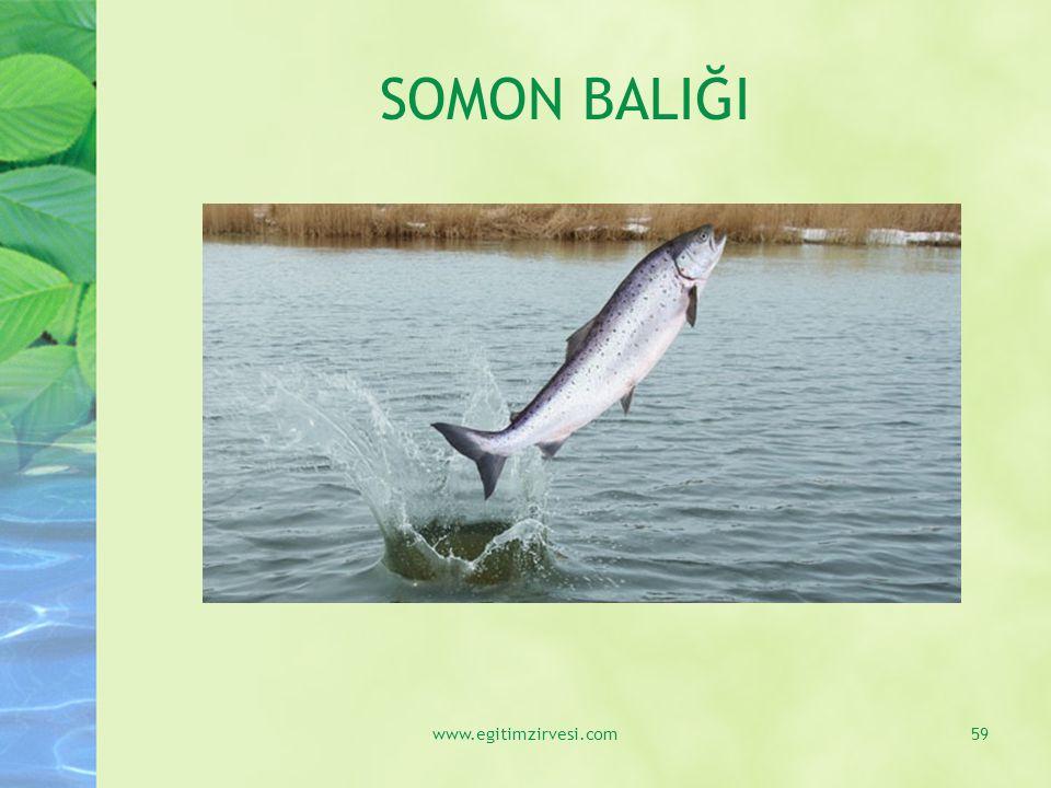 SOMON BALIĞI www.egitimzirvesi.com