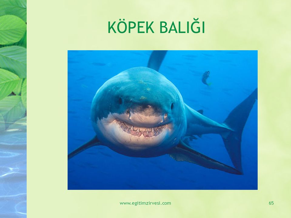 KÖPEK BALIĞI www.egitimzirvesi.com