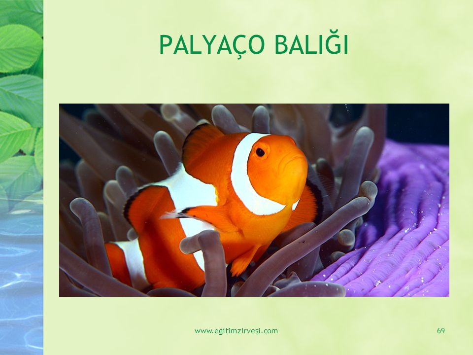 PALYAÇO BALIĞI www.egitimzirvesi.com