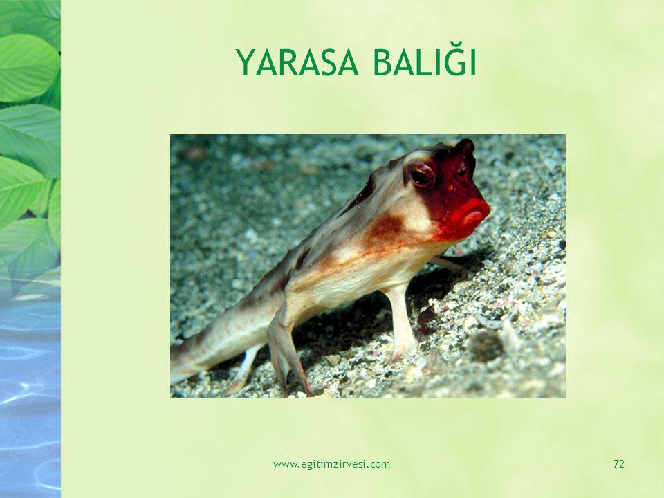 YARASA BALIĞI www.egitimzirvesi.com