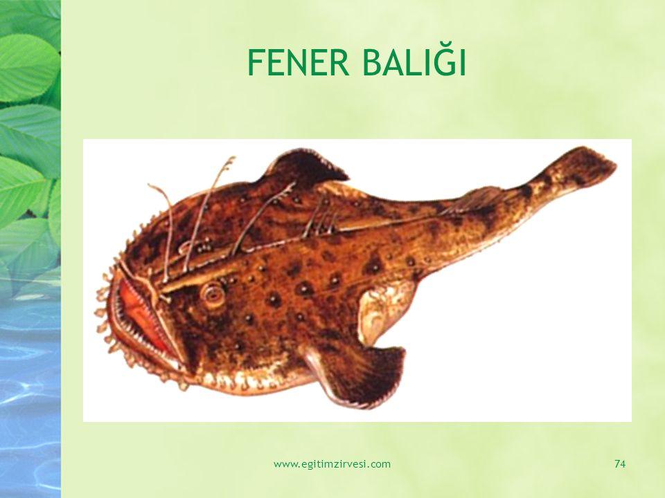 FENER BALIĞI www.egitimzirvesi.com
