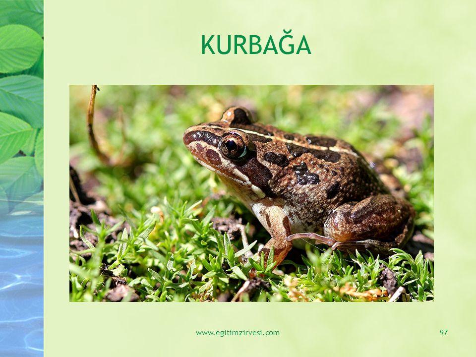 KURBAĞA www.egitimzirvesi.com
