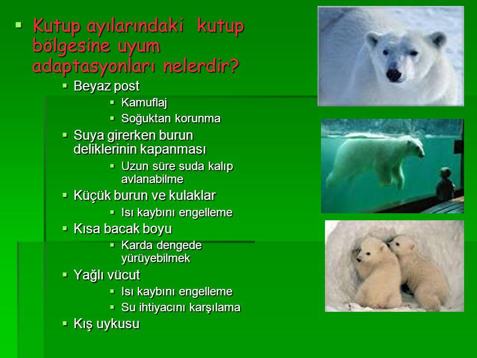 Kutup ayılarındaki kutup bölgesine uyum adaptasyonları nelerdir