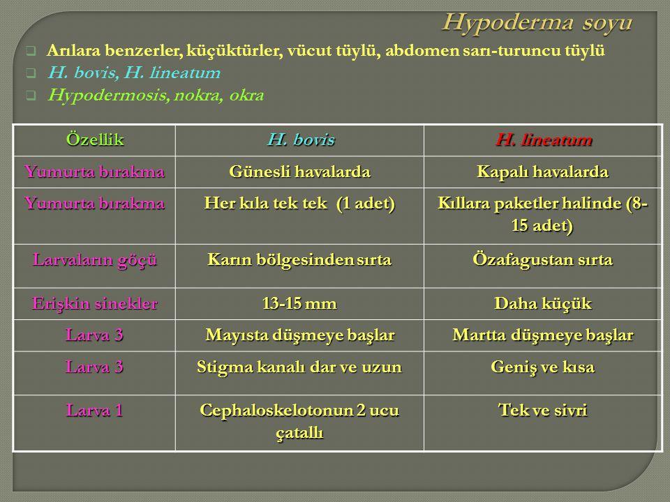 Hypoderma soyu Arılara benzerler, küçüktürler, vücut tüylü, abdomen sarı-turuncu tüylü. H. bovis, H. lineatum.