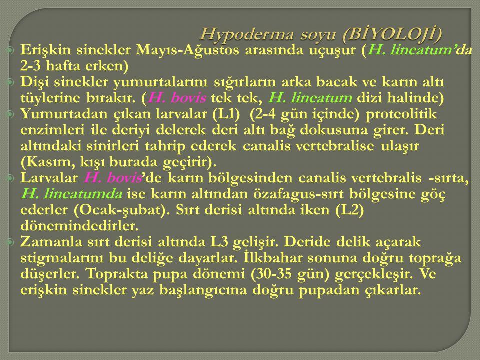 Hypoderma soyu (BİYOLOJİ)