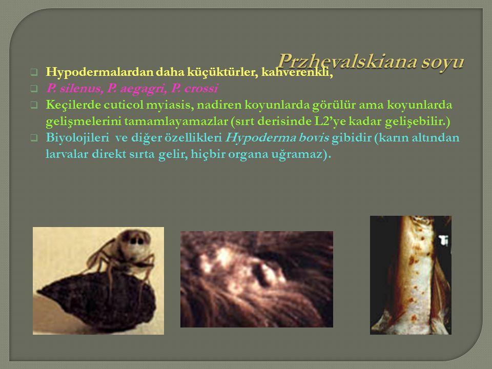 Przhevalskiana soyu Hypodermalardan daha küçüktürler, kahverenkli,