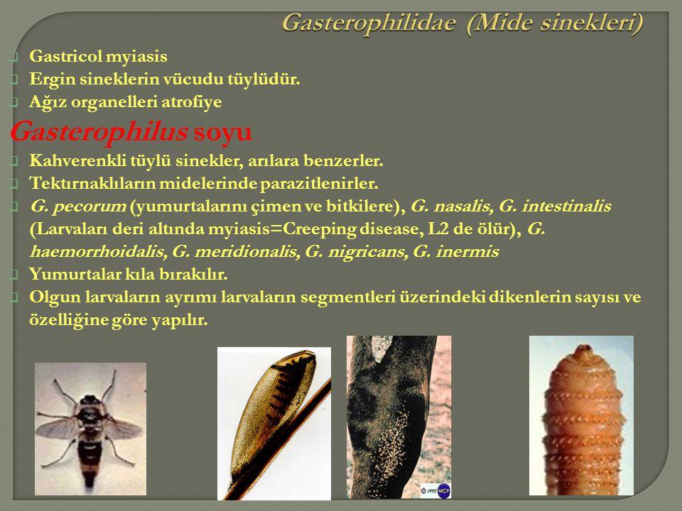 Gasterophilidae (Mide sinekleri)