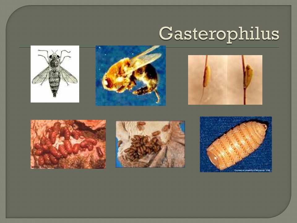 Gasterophilus