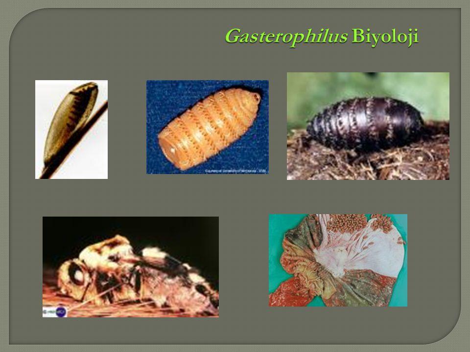 Gasterophilus Biyoloji