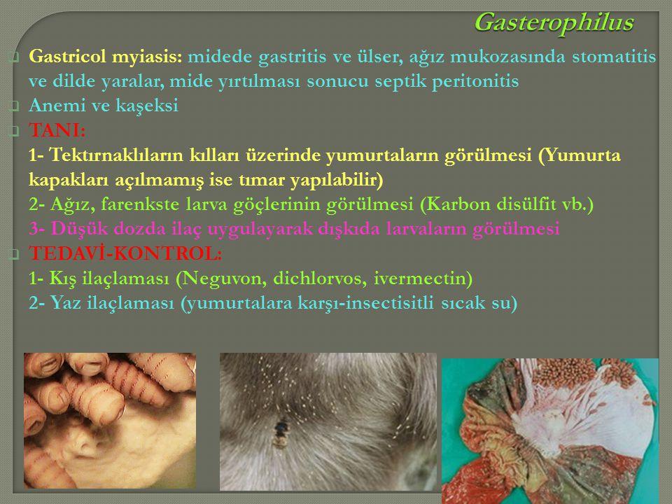 Gasterophilus Gastricol myiasis: midede gastritis ve ülser, ağız mukozasında stomatitis ve dilde yaralar, mide yırtılması sonucu septik peritonitis.