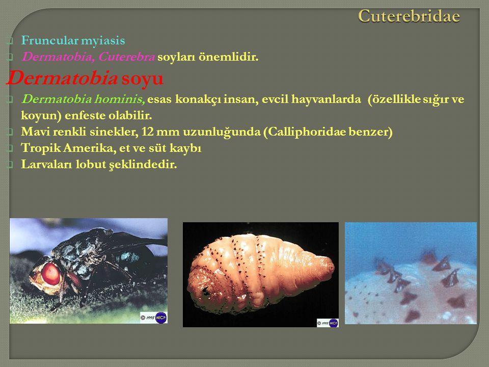Dermatobia soyu Cuterebridae Fruncular myiasis