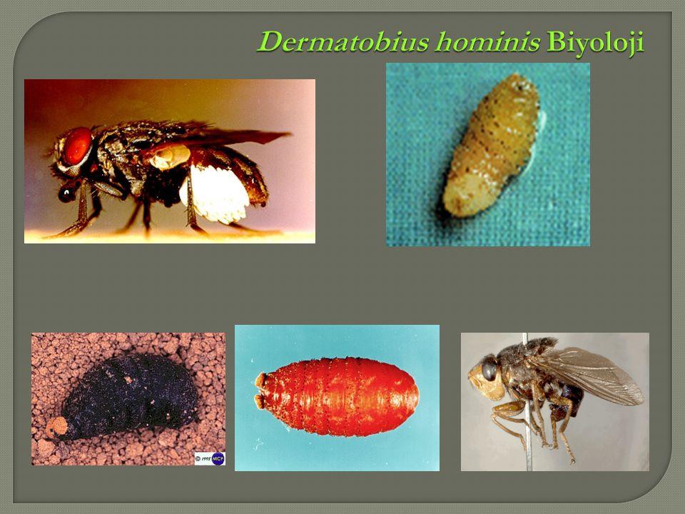 Dermatobius hominis Biyoloji
