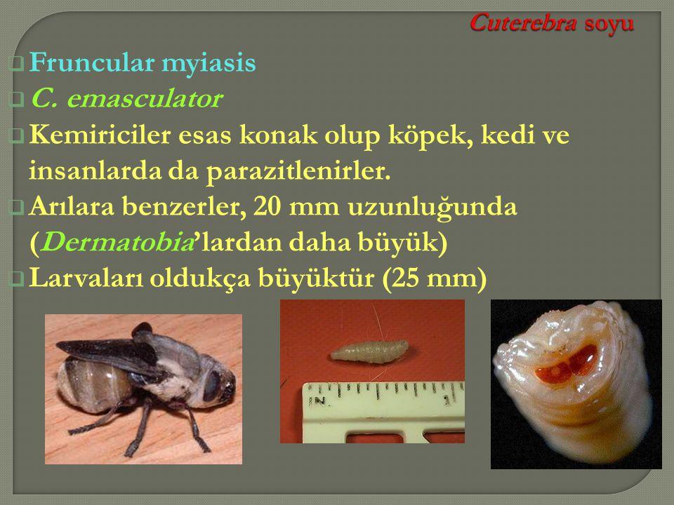 Arılara benzerler, 20 mm uzunluğunda (Dermatobia'lardan daha büyük)