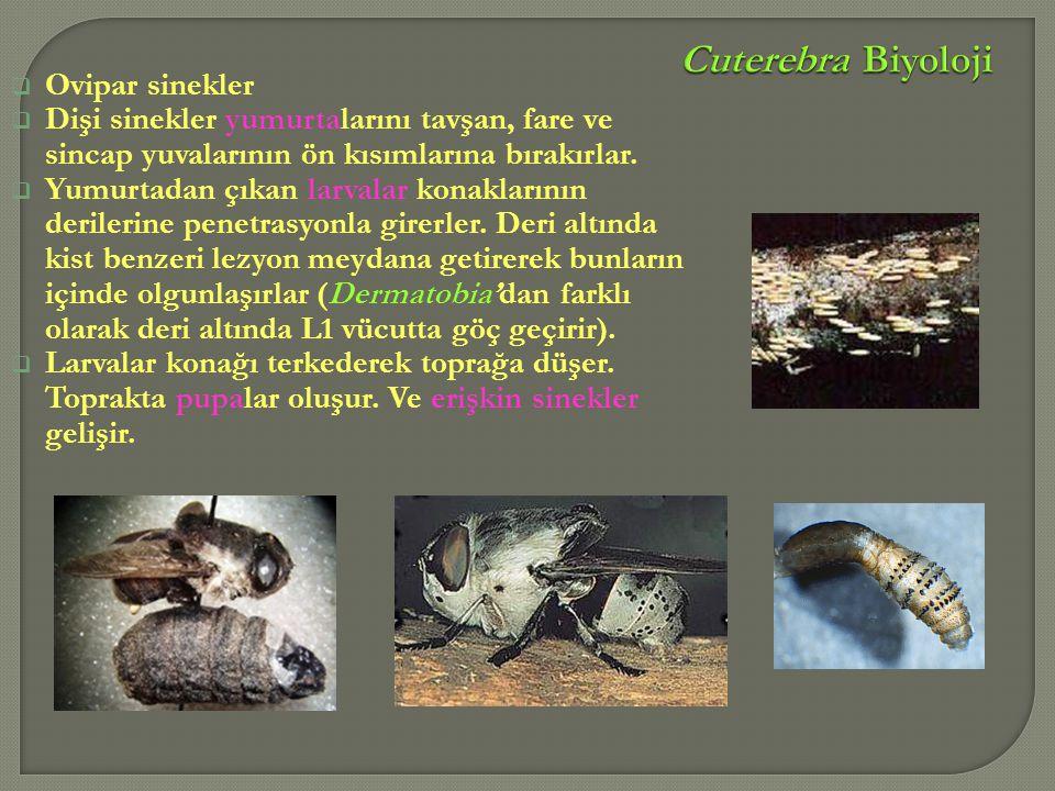 Cuterebra Biyoloji Ovipar sinekler