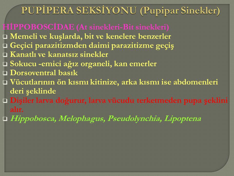 PUPİPERA SEKSİYONU (Pupipar Sinekler)