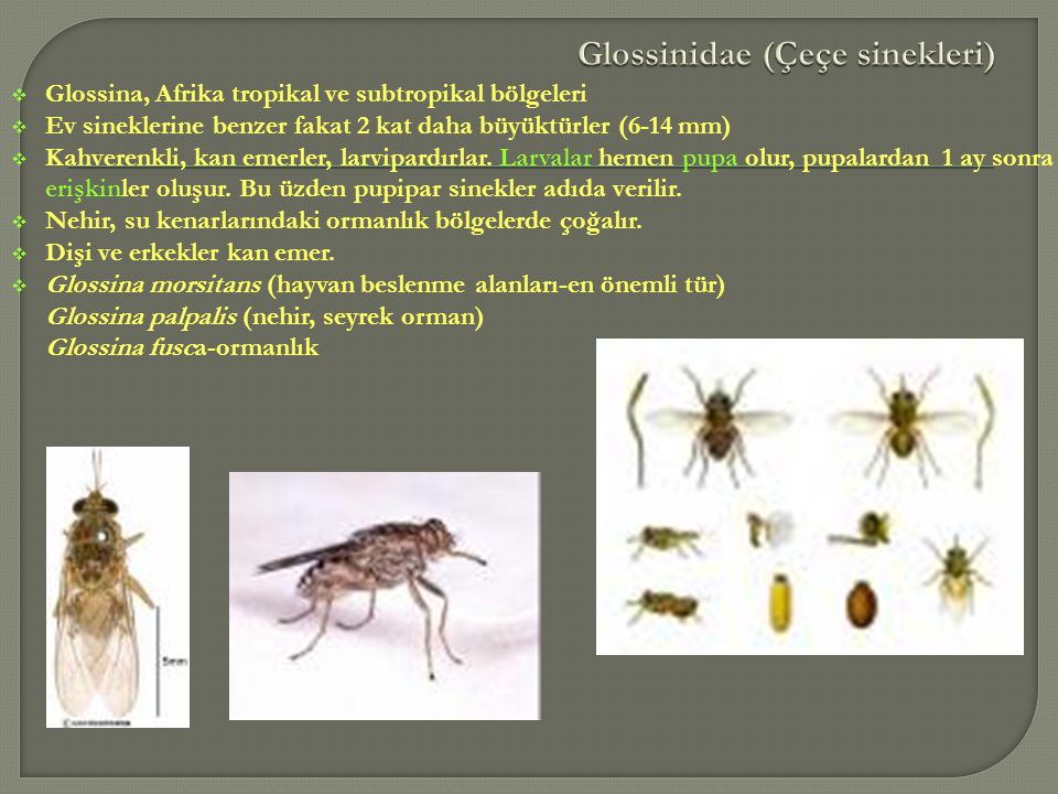 Glossinidae (Çeçe sinekleri)