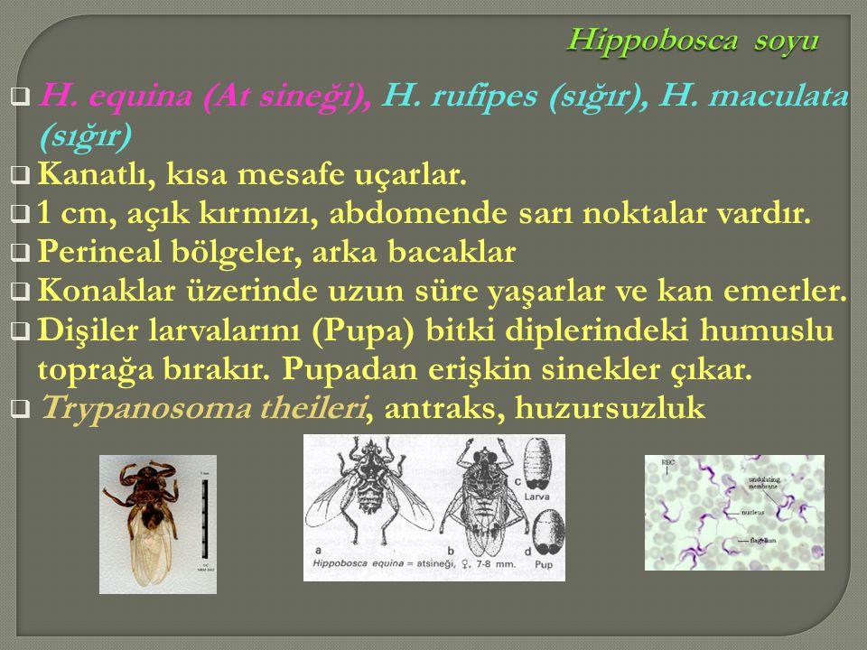 H. equina (At sineği), H. rufipes (sığır), H. maculata (sığır)