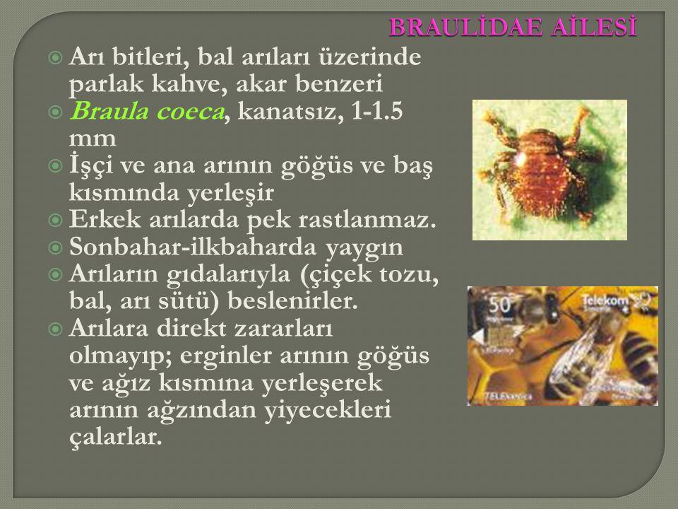 Arı bitleri, bal arıları üzerinde parlak kahve, akar benzeri