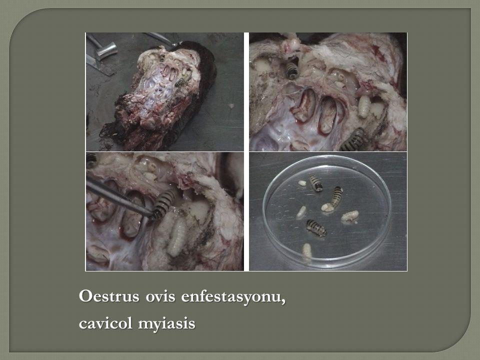 Oestrus ovis enfestasyonu,