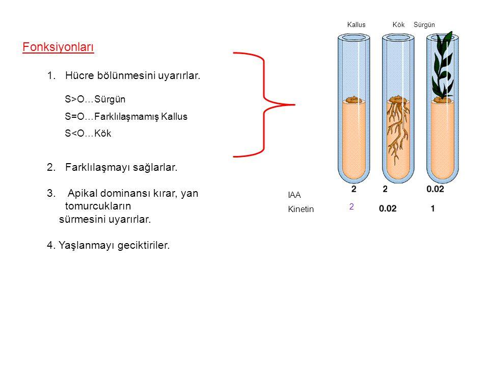 Fonksiyonları Hücre bölünmesini uyarırlar. Farklılaşmayı sağlarlar.