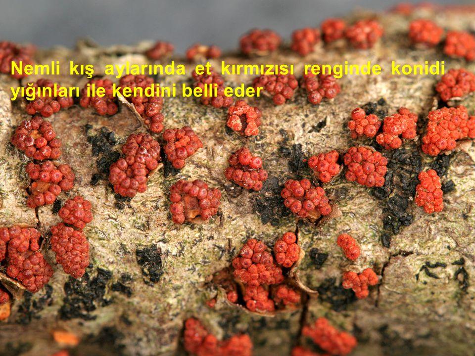 Nemli kış aylarında et kırmızısı renginde konidi yığınları ile kendini belli eder