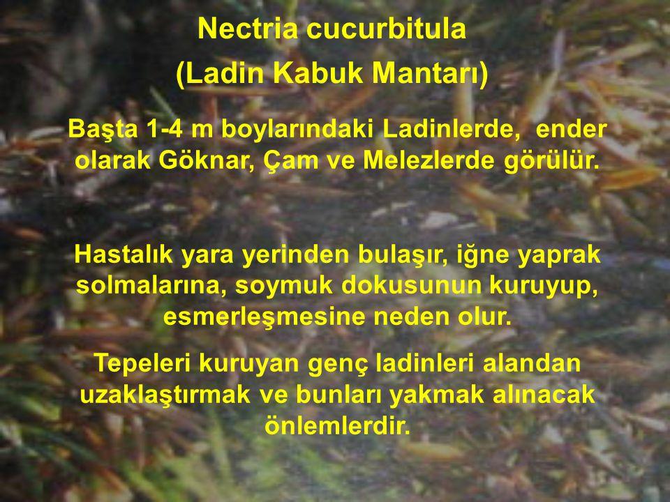 Nectria cucurbitula (Ladin Kabuk Mantarı)