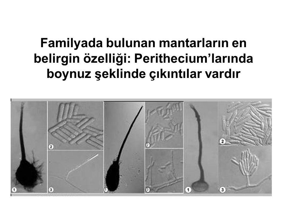 Familyada bulunan mantarların en belirgin özelliği: Perithecium'larında boynuz şeklinde çıkıntılar vardır