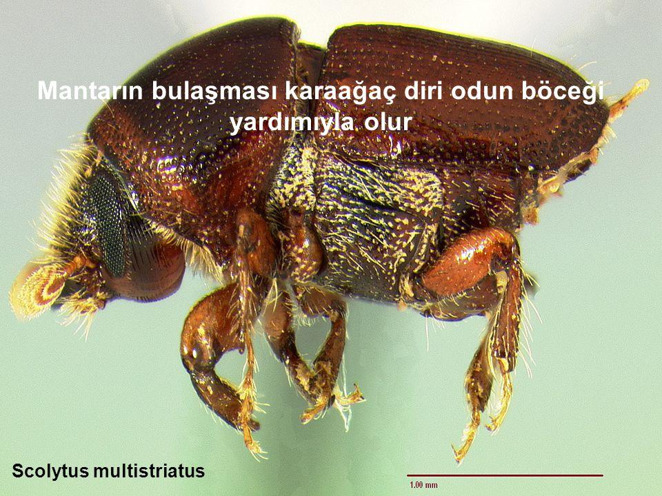 Mantarın bulaşması karaağaç diri odun böceği yardımıyla olur