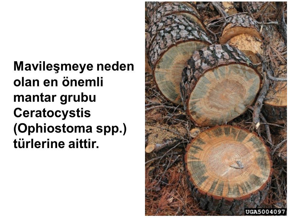 Mavileşmeye neden olan en önemli mantar grubu Ceratocystis (Ophiostoma spp.) türlerine aittir.