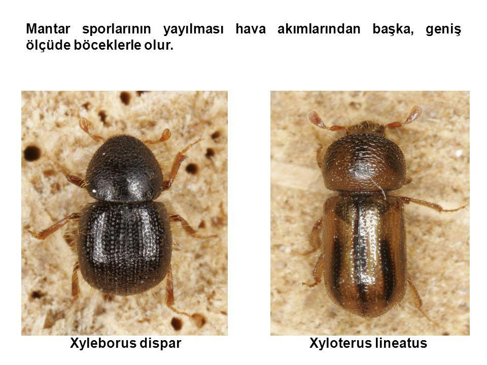 Mantar sporlarının yayılması hava akımlarından başka, geniş ölçüde böceklerle olur.