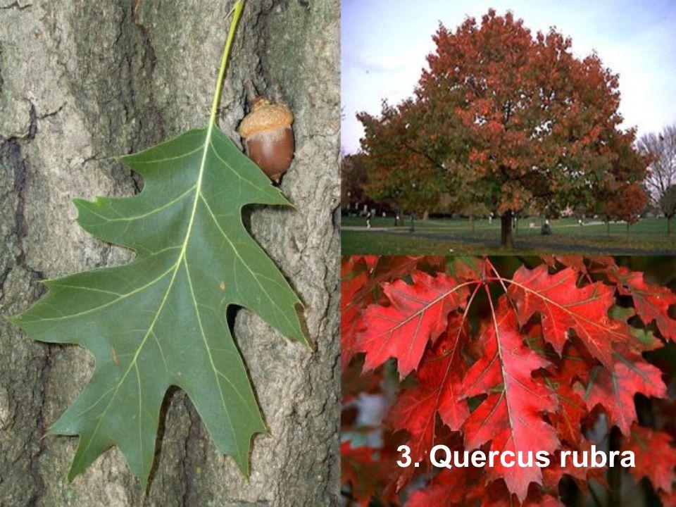 3. Quercus rubra