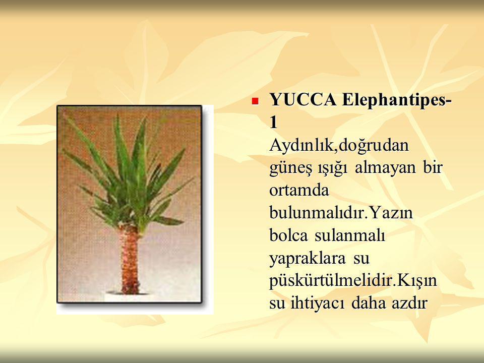 YUCCA Elephantipes-1 Aydınlık,doğrudan güneş ışığı almayan bir ortamda bulunmalıdır.Yazın bolca sulanmalı yapraklara su püskürtülmelidir.Kışın su ihtiyacı daha azdır