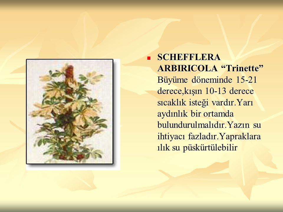SCHEFFLERA ARBIRICOLA Trinette Büyüme döneminde 15-21 derece,kışın 10-13 derece sıcaklık isteği vardır.Yarı aydınlık bir ortamda bulundurulmalıdır.Yazın su ihtiyacı fazladır.Yapraklara ılık su püskürtülebilir