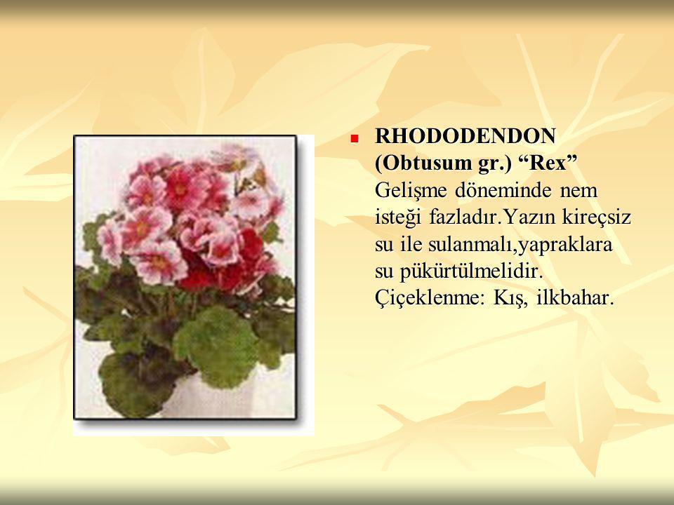 RHODODENDON (Obtusum gr. ) Rex Gelişme döneminde nem isteği fazladır