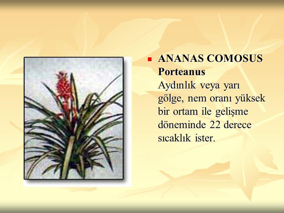 ANANAS COMOSUS Porteanus Aydınlık veya yarı gölge, nem oranı yüksek bir ortam ile gelişme döneminde 22 derece sıcaklık ister.